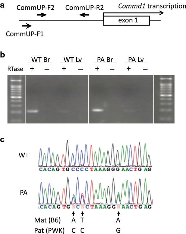 The antisense transcript in the promoter region of Commd1 in adult tissues. a Strand-specific RT-PCR was performed to detect an antisense transcript to Commd1 transcription in the promoter region. The arrows represent the primers, CommUP-F1, for cDNA synthesis, and CommUP-F2 and CommUP-R2, for subsequent RT-PCR. The amplicon is 206 bp in size. CommUP-R2 is located approximately 100-bp upstream from the putative transcription start site of Commd1 . b Brain (Br) and liver (Lv) RNA were analyzed. Tissues were prepared from adult F1 mice generated from crossing PA-B6 females with WT PWK males. cDNA synthesis was performed with (RTase +) or without (RTase −) reverse transcriptase. MW: molecular weight marker. c Allelic expression of the antisense transcripts was analyzed via direct sequencing of the amplified brain cDNA from the WT and PA mice shown in b . Three SNPs used to discriminate the parental alleles are shown under the electropherograms