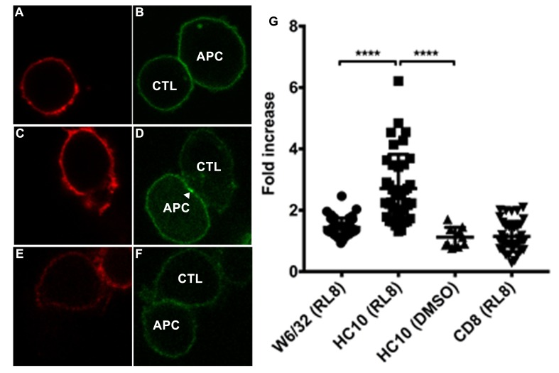 Clustering of peptide-deficient HLA-I in cognate peptide-induced immunological synapses. CTL line B8-RL8 was incubated with activated PBMCs from Donor 25 (carrying B*08:01 and B*35:01) loaded with peptide RL8 ( A–D ) or not ( E and F ). Cells were fixed and stained with anti-CD8 and W6/32 or HC10 before analysis by confocal microscopy. Peptides were used at a concentration of 100 μM. Anti-CD8 staining ( A , C and E ) is shown in red and W6/32 ( B ) or HC10 ( D and F ) in green. Arrowheads indicate peptide-deficient conformers of HLA-I clustering at the interface between PBMCs and CTL line. The intensity of HLA-I staining of the PBMCs at the interface was compared with the membrane at a noncontact area and plotted as the fold increase above background ( G ). The results with a total of 39 conjugates (for B and D ) or 10 conjugates (for F ) per condition are shown. CD8 clustering was derived from 39 conjugates as condition shown in C. The mean ± SEM was shown. Statistical analyses were undertaken using one-way ANOVA analysis with Fisher's LSD test. ****, p