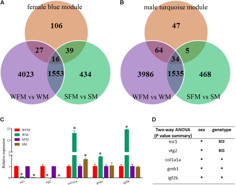 Identification of candidate genes correlated with growth traits. (A) Venn diagram of the candidate DEGs among three comparisons: WFM vs. WM (purple circle), SFM vs. SM (green circle) and growth traits-related candidate genes in female blue module (orange circle). (B) Venn diagram of the candidate DEGs among three comparisons: WFM vs. WM (purple circle), SFM vs. SM (green circle) and growth traits-related candidate genes in male turquoise module (orange circle). (C) qRT-PCR verification of several candidate genes related to growth traits, including esr1 , vtg2 , clo1a1a , greb1, and igf2b . Ef1a was used for the internal reference. (D) Two-way ANOVAs of mRNA expression levels of esr1 , vtg2 , clo1a1a , greb1, and igf2b . Values are indicated as means ± standard deviation (SD). All the experiments were conducted in triplicate. The data was assessed using a Student's t -test and two-way ANOVA. Asterisk denoted significant differences and a probability P