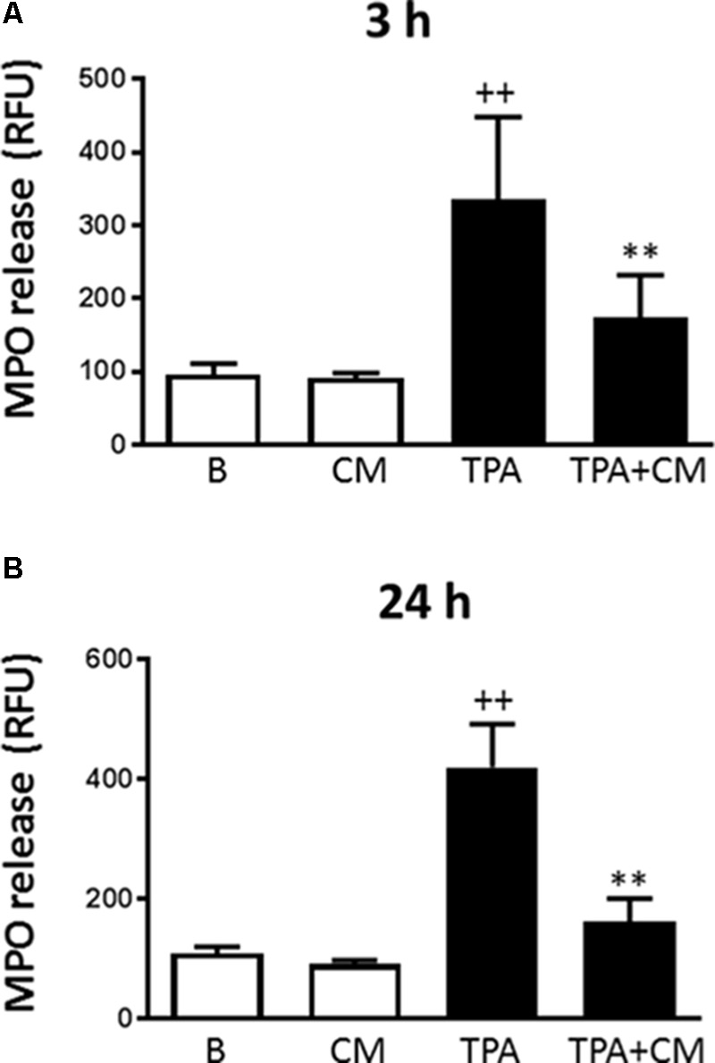 <t>Myeloperoxidase</t> release by human monocytes. Myeloperoxidase activity in cell culture supernatants was measured by a fluorometric procedure after 3 h (A) or 24 h (B) of TPA stimulation in the presence or absence of CM (mean ± SD from 4 separate experiments with cells from separate donors). ++ P