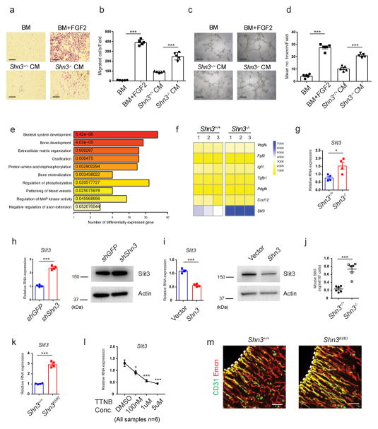 Inhibition of Shn3 enhances Slit3 expression in osteoblasts. ( a , b ) Representative images ( a ) and relative quantification ( b ) of a transwell migration assay of BM-derived endothelial progenitor outgrowth cells (EPOCs). Basal medium, (BM); Conditioned medium, (CM). n = 5 per group. ( c , d ) Representative images ( c ) and relative quantification of tube branch numbers ( d ) of a Matrigel tube formation assay with EPOCs. n = 5 per group. ( e ) Gene ontology (GO) enrichment analysis of genes differentially expressed in Shn3 −/− osteoblasts relative to Shn3 +/+ osteoblasts ( f ) Proangiogenic gene expression in primary Shn3 +/+ and Shn3 −/− osteoblasts. ( g ) Real-time PCR of Slit3 expression in Shn3 +/+ and Shn3 −/− osteoblasts. n = 4 per group. ( h ) Messenger RNA (mRNA) (left) and protein (right) levels of Slit3 in human mesenchymal stromal cells (hMSCs) expressing a GFP targeting control or Shn3 shRNAs cultured under osteogenic conditions. n = 4 per group. ( i ) mRNA (left) and protein (right) levels of Slit3 in hMSCs overexpressing a vector control or Shn3 cultured under osteogenic conditions.. n = 4 per group. ( j ) ELISA for SLIT3 secretion by Shn3 +/+ and Shn3 −/− osteoblasts. n = 6 per group. ( k ) Real-time PCR analysis of Slit3 in Shn3 +/+ and Shn3 KI/KI osteoblasts ( n = 4). ( l ) Real-time PCR analysis of Slit3 in hMSCs treated with trametinib (TTNB). n = 6 per group. ( m ) Representative confocal images ( n = 3 total images per group) of CD31 (green) and EMCN (red) immunostained sections from the femurs of 2-week-old Shn3 +/+ and Shn3 KI/KI male mice. Growth plate is marked with a dashed line. Scale bars, 100μm. Values represent mean ± s.e.m.; * P