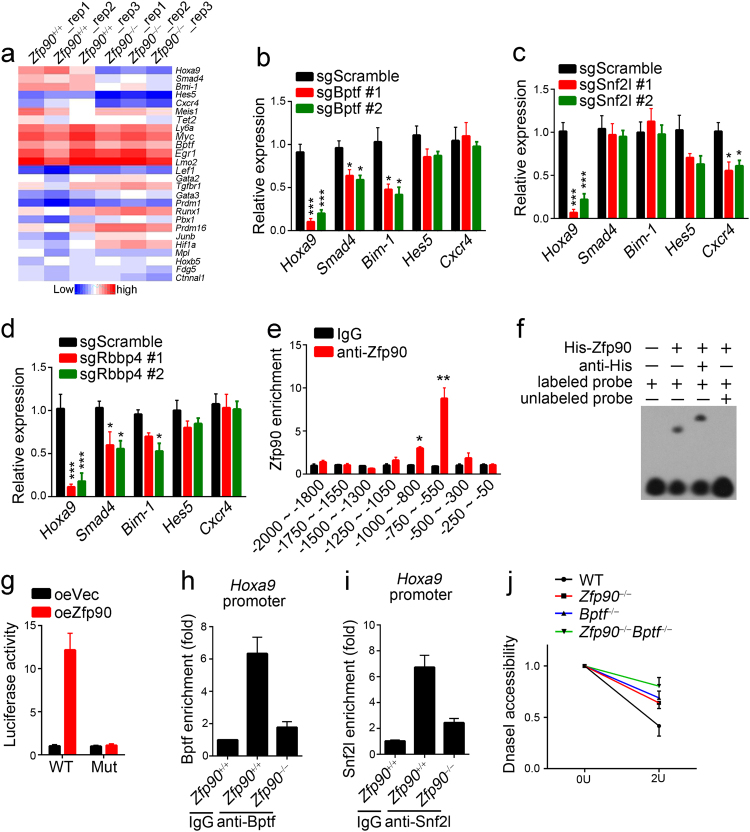 Zfp90 cooperates with the NURF complex to regulate Hoxa9 expression. a Relative expression of representative HSC-proliferation-related genes. HSCs were isolated from Zfp90 +/+ and Zfp90 −/− mice 16 weeks after transplantation. b – d Analysis of representative gene expression in Bptf -, Snf2l - or Rbbp4 -deleted HSCs and WT control. Two sgRNAs were used for the deletion of Bptf, Snf2l or Rbbp4. e Analysis of Zfp90 enrichment on Hoxa9 promoter in LSK (Lin − Sca-1 + c-Kit + ) cells via ChIP assays. f Analysis of the direct interaction of Zfp90 with Hoxa9 promoter via EMSA assays. g Myc-Zfp90, pTK, and pGL3- Hoxa9 WT (region: −2000 to 0) or Mutant (Mut region: deletion of −550 to −800) promoter were transfected into 293T cells for luciferase assay. h , i Analysis of Bptf or Snf2l enrichment on Hoxa9 promoter in Zfp90 +/+ or Zfp90 −/− LSKs. j Accessibility of Hoxa9 promoter to DNase I in Zfp90 +/+ or Zfp90 −/− LSKs was assessed. * p