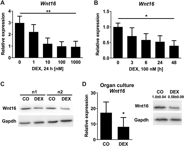 Glucocorticoids suppress Wnt16 in vitro . ( A – C ) Bone marrow stromal cells derived from wildtype mice were differentiated towards osteoblasts for 7 days and treated with ( A ) various concentrations of dexamethasone (DEX) and ( B ) various durations. N = 4–12. Wnt16 gene expression was quantified using real-time PCR. Beta-actin was used as housekeeping gene. ( C ) Cells were treated with 100 nM DEX or 48 h. Protein levels of Wnt16 and Gapdh were detected using Western blot. Two independent experiments are shown out of four. Each Western blot represents an own gel. Full gels are shown in Suppl. Fig. 1 . ( D ) Calvarial bone from 3–5 days old C57BL/6 pups were cultured for 24 h in the presence or absence of 1 µM DEX. Wnt16 gene expression was quantified using real-time PCR (n = 6); protein expression using Western blot (n = 4). Numbers indicate semi-quantification of Western blots. Each Western blot represents an own gel. Full gels are shown in Suppl. Fig. 1 . *p
