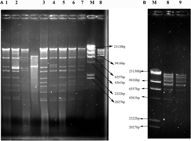 EcoR I restriction digestion profiles of plasmids harboring bla NDM or bla KPC−2 genes from transconjugants containing only one plasmid. (A) Profiles of IncX3 plasmids. (B) Profiles of F35:A-:B1 plasmids. Lanes 1–9: VS2T, VS1T, VX9T, VK70T, VH1T, VK49T, VH3-1T, VH1-2T, and VH11T; Lane M: λ- Hind III marker.