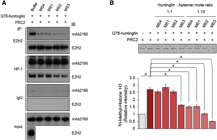 Aptamer Binding Selectively Reduces Mutant <t>Huntingtin's</t> PRC2-Stimulating Activity (A) The affinities of Q78-huntingtin alone and huntingtin-aptamer complexes to PRC2 were compared by immunoprecipitation with an anti-EZH2 antibody and an anti-huntingtin antibody (HP-1), followed by immunoblotting for huntingtin and EZH2. The experiment was repeated three times. (B) Autoradiogram of bands of 3 H-methyl histone H3 produced by PRC2 in the absence and presence of mutant-huntingtin-preferring <t>DNA</t> aptamers. Bottom: the bar graph of the band densitometry results, showing that aptamer binding significantly reduced the ability of mutant huntingtin to enhance basal PRC2 activity. Mean band intensities were measured from three independent experiments. Asterisks indicate statistically significant differences compared with unbound Q78-huntingtin. Error bars represent SEM. *p
