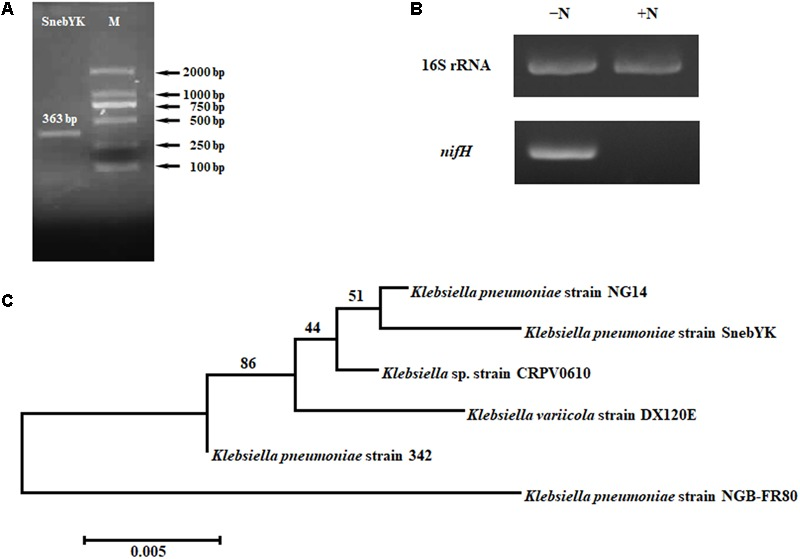 """Amplification and analysis of the nifH gene of SnebYK. (A) Amplicon of SnebYK nifH (363 bp) in the left lane and DNA ladder in the right lane. (B) Transcriptional analysis of the SnebYK nifH gene in nitrogen-free medium determined with RT-PCR. The lane labeled """"-N"""" shows the expression of the 16S rRNA and nifH gene of SnebYK grown in ACCC55 nitrogen-free medium; the lane labeled """"+N"""" shows the expression of the 16S rRNA and nifH gene of SnebYK grown in nutrient agar medium. The transcript level of the 16S rRNA was used as a loading control; the transcript level of nifH of SnebYK grown in nutrient agar medium was used as a negative control. (C) Dendrogram based on the nifH sequences of SnebYK and other strains in the genus Klebsiella with similar nifH sequences. This analysis was performed using the neighbor-joining method in Mega 7.0.26 with a bootstrap value of n = 1000."""