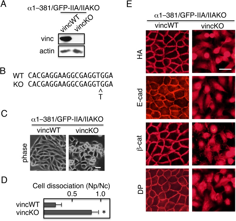 The α-catenin construct α1–381 requires vinculin for its ability to rescue junction formation. Using the CRISPR/Cas9 system, the vinculin gene was ablated in α1–381/GFP–IIA/IIAKO cells, yielding α1–381/GFP–IIA/IIAKO-vincKO double-knockout cells. (A) Immunoblot detection of vinculin (vinc) and actin. α1–381/GFP–IIA/IIAKO cells with wild-type vinculin (vincWT) were used as a positive control, and actin was used as a loading control. (B) Genomic sequencing revealed a mutation in the target region of vinculin gene that induced a frame-shift. All 13 independent clones sequenced harbored the same insertion of 1 bp. (C) Morphology of α1–381/GFP–IIA/IIAKO-vincKO cells. Cells cultured in the presence of Dox were observed using a phase-contrast microscope. (D) Cells cultured in the presence of Dox were incubated with Dispase, and then detached cells were subjected to dissociation assays and quantified. Values represent the mean±s.e.; n =at least 3 times. * P