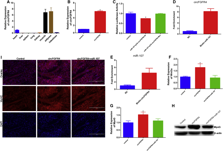 circFGFR4 Binding miR-107 to Promote Cell Differentiation (A) circFGFR4 expression in different tissues from embryonic Qinchuan cattle detected by real-time qPCR. (B) The expression efficiency of pcDNA-circFGFR4 is shown. (C) Bovine primary myoblasts were co-transfected with miR-107 mimic and pCK-circFGFR4-W or pCK-circFGFR4-Mut. Renilla luciferase activity was normalized to the Firefly luciferase activity. (D) qPCR analysis of circFGFR4 level in the streptavidin captured fractions from the bovine primary myoblasts lysates after transfection with 3′ end biotinylated miR-107 or control RNA (NC). (E) Biotin-labeled circRNA was purified and subjected to RNA pull-down assays by incubation with bovine primary myoblasts lysates, followed by qPCR analysis of miR-107 level. (F) The mRNA expression of Wnt3a in primary bovine myoblasts transfected with miR-107 mimic and (or) circFGFR4 for 24 hr was detected by qPCR. (G and H) The expression of MyoG in primary bovine myoblasts was detected by qPCR (G) and western blotting (H). (I) Bovine primary myocytes were transfected with pcDNA-circFGFR4 and (or) miR-107 mimic, and cell differentiation was detected by immunofluorescence (MyHC) and observed under a fluorescence microscope. Values are means ± SEM for three individuals. *p
