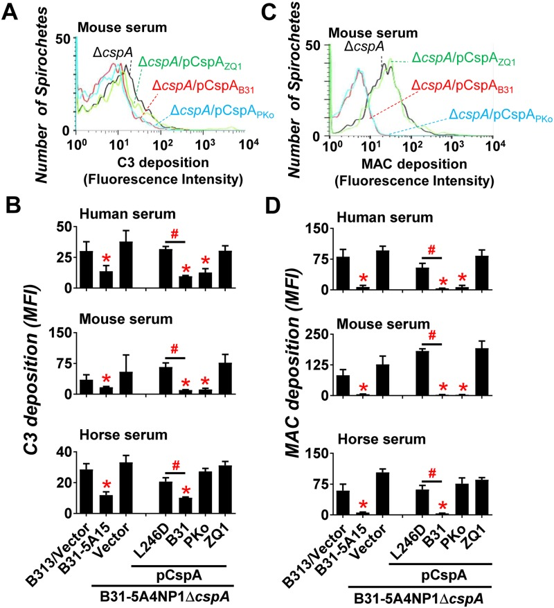 """CspA variants differ in their ability to reduce the deposition of C3b or MAC from different vertebrate animals on the spirochete surface. B . burgdorferi strain B31-5A15 (""""B31-5A15""""), B31-5A4NP1Δ cspA harboring the vector pBSV2G (""""Δ cspA /Vector""""), or this cspA mutant strain producing CspA B31 (""""Δ cspA /pCspA B31 """"), CspA PKo (""""Δ cspA /pCspA PKo """"), CspA ZQ1 (""""Δ cspA /pCspA ZQ1 """"), or CspA B31 L246D (""""Δ cspA /pCspA B31 L246D""""), or B313 carrying the vector pBSV2G (""""B313/Vector"""", negative control) was incubated with serum from human, mouse, or horse with a final concentration of 20%. The bacteria were stained with a guinea pig anti-C3 polyclonal IgG, a mouse anti-C5b-9 monoclonal antibody aE11 (for spirochetes incubated with human or horse serum), or a rabbit anti-C5b-9 polyclonal IgG (for spirochetes incubated with mouse serum) followed by an Alexa 647-conjugated goat anti-guinea pig IgG or goat anti-mouse IgG, or goat anti-rabbit IgG prior to being applied to flow cytometry analysis. Representative histograms of flow cytometry analysis showing the deposition levels of mouse (A) C3b or (C) MAC on the surface of indicated B . burgdorferi strains. The deposition levels of (B) C3b or (D) MAC of indicated animals on the surface of B . burgdorferi were measured by flow cytometry and presented as mean fluorescence index (MFI). Each bar represents the mean of three independent determinations ± SEM. Significant differences (P"""