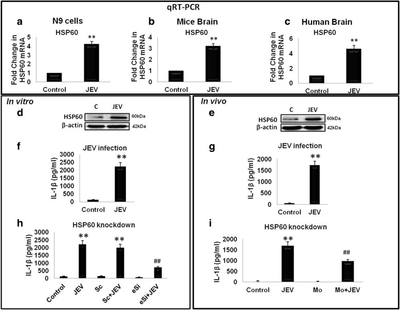 Japanese encephalitis virus (JEV)-induced IL-1β production by activated microglia is regulated by HSP60. Upper panel depicts the qRT-PCR data. a–c JEV infection increases HSP60 both at RNA level ( a , b ) and protein level ( d , e ) in N9 cells and mice brains respectively. Protein levels of HSP60 in the Western blot were normalized with β-actin levels while transcript expression of HSP60 was normalized with GAPDH expression. c Effect of JEV infection on the transcript level of HSP60 was also assessed in FFPE human brain sections infected with JEV and were compared with the control brains. f , g JEV infection increases IL-1β secretion both in vitro ( f ) and in vivo ( g ) which were analyzed using ELISA. h , i HSP60 knockdown leads to decrease in the IL-1β secretion as assessed by ELISA in N9 cells ( h ) and mice brain lysate ( i ). Both qRT-PCR and ELISA were performed in triplicates for each experiment. Data represented as mean ± SD of three independent experiments ( n = 3). * p