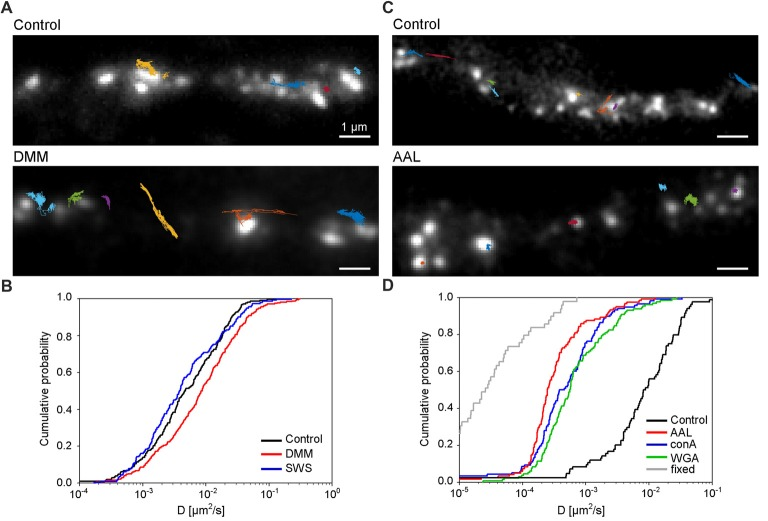 N -glycosylation regulates the mobility of GluN3A-containing NMDARs at the cell surface of hippocampal neurons. (A,C) Representative trajectories of quantum dot (QD)-labeled GFP-GluN3A (GluN3A) subunits in hippocampal neurons treated with 200 μg/ml DMM (A) or with the lectin AAL (20 μg/ml) (C) . (B,D) Comparison of the cumulative distribution of the diffusion coefficients measured for QD-labeled GluN3A subunits in hippocampal neurons treated for two days with 200 μg/ml DMM, 100 μg/ml swainsonine ( n = 208–314 trajectories per condition; B ), or incubated after QD labeling with 20 μg/ml of AAL, conA, or WGA ( n = 84–131 trajectories per condition; D ). The diffusion coefficients in fixed cells (shown in D ) were obtained from an independent experiment ( n = 49 trajectories). Pairwise comparisons of the distributions show the following statistically significant differences: DMM vs. control ( p