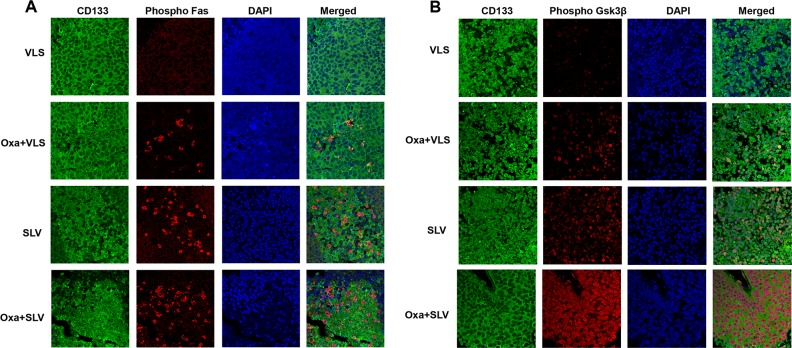 Fap1-inhibition with SLV peptide increases Fas and <t>Gsk3β</t> phosphorylation in CD133 + cells in a murine xenograft model SW620 cells were injected in the flanks of athymic Nude mice and tumor volume was determination biweekly. Mice were treated weekly with oxaliplatin (days 0, 7 and 14) and injected daily with Fap1 blocking SLV peptide or VLS control peptide, or treated with SLV or VLS peptide alone (n=12 per cohort). Tumors were simultaneously harvested from cohorts of mice when control tumors were > 2,000 mm3. (A) SLV peptide increases Fas phosphorylation in CD133 + xenograft tumors with or without oxaliplatin. Immunofluorescent detection of phospho-Fas or CD133 was performed with DAPI staining of nuclei. (B) SLV peptide increases Gsk3β phosphorylation in CD133 + xenograft tumors with or without oxaliplatin. Immunofluorescent detection of phospho-Gsk3β or CD133 was performed with DAPI staining of nuclei.