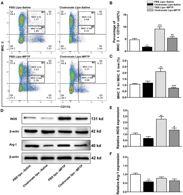 Clodronate liposome treatments successfully depleted peripheral macrophages in the spleen. (A) Flow cytometry analysis shows the percentage of MHC II+ CD11b+macrophages in the spleens of the PBS lipo-saline, clodronate lipo-saline, PBS lipo-MPTP, and clodronate lipo-MPTP groups at 7 days after MPTP injection. (B) Total splenic macrophage numbers as a percentage of total leukocytes in different experimental groups. (C) The ratio of CD11b+ MHC II hi (M1) macrophages to CD11b+ MHC II low (M2) macrophages in different experimental groups. (D) Analysis of iNOS and Arg-1 protein levels in the spleen at 7 days after MPTP injection. (E) Quantification of the densitometric value of the iNOS protein bands is shown, normalized to β-actin. (F) Quantification of the densitometric value of the Arg-1 protein bands, normalized to β-actin, is also shown. The gels were run under the same experimental conditions. Values are mean±SEM. * p