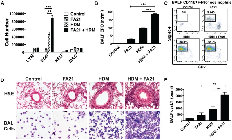 Exposure to FA21 MWCNT exacerbates HDM-induced allergic lung inflammation and promotes cysLT production. To examine the effect of MWCNT exposure on pre-existing allergic airway inflammation, C57BL/6 mice (4–6 per group) were intranasally challenged with PBS (control) or HDM allergen over a 2-week period (on days 0, 7, and 14) to induce allergic inflammation and then exposed to FA21 MWCNT (50 μg) on day 15 by intratracheal administration. BALF and lung tissue were collected 24 h after MWCNT administration on day 16 for analysis of pulmonary inflammation (as illustrated in the experimental design in Figure 1 ). Groups comprised of mice treated with FA21, HDM, or FA21 + HDM. Control mice were treated with carrier alone. (A) BALF cell differential counts were determined and expressed as absolute cell number per mouse of lymphocytes (LYM), eosinophils (EOS), macrophages (MAC), and polymorphonuclear neutrophils (NEU). (B) Cell-associated EPO levels in the BALF were determined by colorimetric assay. (C) CD11b + <t>F4/80</t> - GR1 - Siglec-F + eosinophil numbers present in the BALF were analyzed by flow cytometry. (D) Peribronchial and perivascular inflammation was assessed by histological analysis of lung tissue sections stained with H E (20×). In addition, inflammatory cells infiltrating the airways were examined by microscopic evaluation and imaging of cytospin preparations of BALF cells stained using Hema3. (E) CysLT levels present in BALF determined by ELISA. Results are mean ± SEM ( n = 6), ∗∗ p