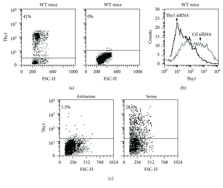 Thy1 gene expression following genetic manipulation, using Thy1 knockout mice, Thy1 siRNA, and Thy1 cDNA expression vector. (a) Flow cytometry Thy-FITC mAb staining in spleen cells from wild-type (WT) C57BL/6 mice and Thy1-deficient mice, respectively. (b) Downregulation of Thy1 by siRNA was performed. Thy1 downregulation was detected 48 h after transfection by FACS analysis (c) Mlg cells were transfected with Thy1 expression vector. Plasmid-containing Thy1 cDNA in antisense orientation serves as a control. Thy1 expression was detected 24 h after the transfection by FACS analysis.