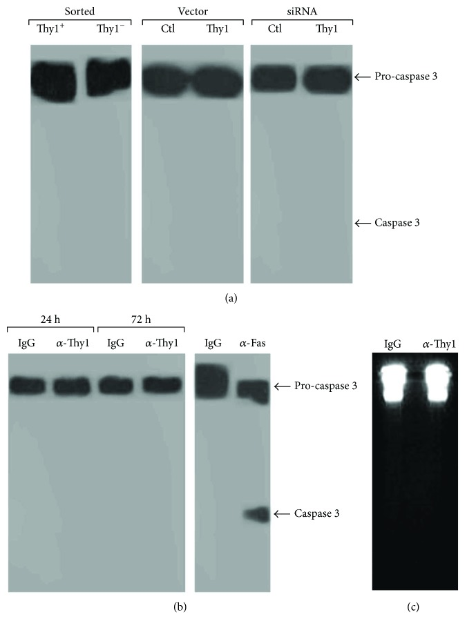 Thy1 expression is not involved in the regulation of fibroblast apoptosis. (a) Western blots determining the extent of pro-caspase 3 cleavage (apoptosis) in Thy1 + or Thy1 − sorted fibroblasts from the lungs of bleomycin-treated mice and in a lung fibroblast cell line (Mlg) transfected with a Thy1.2 expression vector or plasmid-containing Thy1 cDNA in antisense orientation and in murine primary lung myofibroblasts transfected with Thy1 siRNA or control siRNA. (b) Western blot of pro-caspase 3 cleavage. (c) DNA ladder in lung fibroblast primary cultures following stimulation with G7 anti-Thy1 mAb (5 μ g/ml) or IgG isotype match control for 24–72 h.