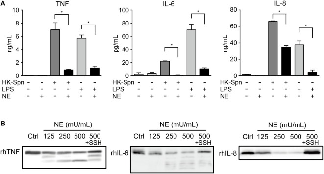 Neutrophil elastase (NE) degrades TNF, IL-6, and <t>IL-8</t> (A) . THP-1-derived macrophages were exposed to hNE (125–500 mU/mL) in the presence or absence of HK-Spn or LPS (100 ng/mL) for 4 h. TNF, IL-6, and IL-8 concentrations in the culture supernatants were determined by ELISA. Data represent the mean ± SD of quadruplicate experiments and were evaluated using one-way analysis of variance with Tukey's multiple-comparisons test. *Significantly different within the same activation status at P
