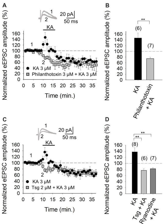 Facilitation of glutamate release mediated by presynaptic kainate receptor (KAR) activation requires an increase of Ca 2+ in the cytosol at PF-PuC synapses. (A) Time-course of KA (3 μM) effect on eEPSCs amplitude in control condition (circles) and in slices treated with philanthotoxin (squares). (B) Quantification of modulation observed in (A) . (C) Time-course of the effect of KA on eEPSCs amplitude in control slices (circles) and in thapsigargin-treated slices (squares). (D) In slices treated with thapsigargin or ryanodine, the increase of eEPSCs amplitude induced by KA is prevented. The number of slices (from two to three mice) is indicated in parenthesis at the top of each bar. Results are expressed as means ± SEM (** P