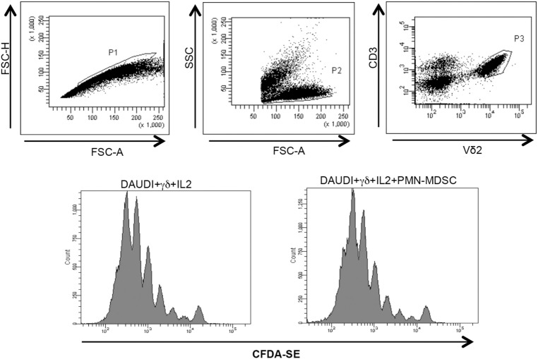 PMN-myeloid-derived suppressor cells (MDSC) does not inhibit Daudi-induced Vδ2 T cell proliferation. Purified γδ T cells labeled with CFDA-SE were stimulated with Daudi cells and IL-2 in the presence of PMN-MDSC. After 5 days, Vδ2+ T cells proliferation was evaluated by flow cytometry. Representative histogram plots of one out of three independent experiments showing Vδ2 T cells proliferation in the indicated conditions.