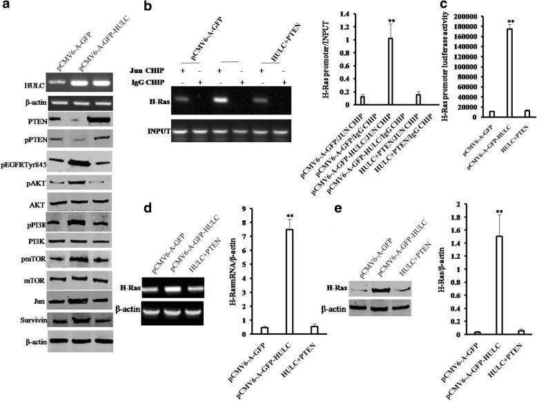 HULC activates AKT-PI3K-mTOR pathway via PTEN reduction in liver cancer cells. a Western blotting with anti-PTEN, anti-pPTEN, anti-EGFR (Tyr845),anti-AKT,anti-pAKT,anti-TmTOR,anti-PI3K,anti-pPI3Kanti-mTOR,anti-pmTOR, anti-JUN, anti-Survivin and RT-PCR with HULC primer in Hep3B cell lines transfected with pCMV6-A-GFP, pCMV6-A-GFP-HULC,and pCMV6-A-GFP -HULC plus pCMV6-XL5-PTEN,respectively. b (left) CHIP with anti-JUN followed by PCR with H-Ras promoter primers in Hep3B cell line. IgG CHIP as negative control. H-Ras promoter as INPUT. ( right ) quantitative CHIP. c The assay of H-Ras promoter luciferase activity in Hep3B. d (left) The RT-PCR with H-Ras primers in Hep3B cell line. (right) The real-time RT-PCR. e (left) Western blotting with anti-H-Ras in Hep3B cell line. (right) The density analysis of band
