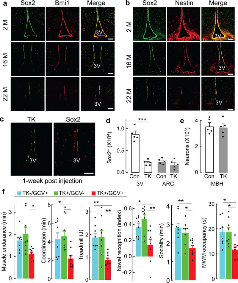 Aging-associated hypothalamic NSC loss and its impact on aging speed a , b , Hypothalamic sections from male C57BL/6 mice at indicated months (M) of age were immunostained for Sox2 ( a, b ) with Bmi1 ( a ) or Nestin ( b ). c–f , Mid-aged C57BL/6 mice (~15-month-old) were injected in hypothalamic 3V with Sox2 promoter-directed Hsv-TK (TK) vs. control (Con) lentiviruses ( c ), followed by Ganciclovir (GCV) vs. vehicle treatment, and examined for cell ablation ( d, e ) and physiology ( f ) after 3 months post viral injection. d, e : Numbers of Sox2-postive cells and NeuN-positive neurons in hypothalamic 3V wall, arcuate nucleus (ARC) or MBH. MWM: Morris Water Maze (see ED Fig. 2e ). Images represent 3 independent experiments ( a–c ), scale bar, 100 μm. * p