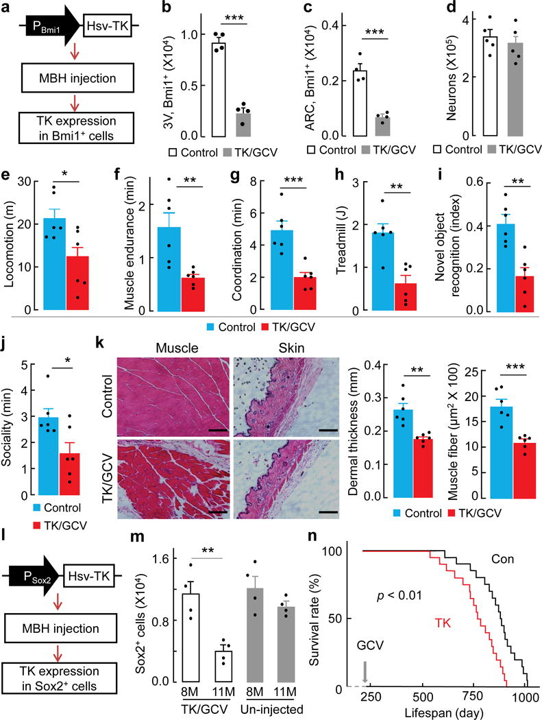 """Aging acceleration and lifespan shortening due to hypothalamic NSC loss Mid-aged male C57BL/6 mice (~15-month-old) were bilaterally injected in the MBH with Bmi1 promoter-driven Hsv-TK (TK) vs. control (Con) lentiviruses, followed by GCV vs. vehicle (Veh) treatment. a , Diagram of TK lentivirus and injection. b – d , Bmi1-positive cells in hypothalamic 3V wall and ARC ( b , c ) and NeuN-positive neurons ( d ) in the MBH at 3 months post viral injection. e–k , At 3~4 months post viral injection, TK+/GCV+ group (labeled as """"TK/GCV"""") were compared to control groups (data derived from TK+/GCV- group but also represented TK-/GCV+ and TK-/GCV- groups) for physiology ( e–j ) and histology ( k ). Scale bar, 100 μm. l – n , male C57BL/6 mice (8-month-old) were bilaterally injected in the MBH with Sox2 promoter-driven Hsv-TK (TK) vs. control (Con) lentiviruses, both followed by GCV treatment. l , Diagram of TK lentivirus and injection. m , Sox2-positive cells in MBH parenchyma and hypothalamic 3V wall of these mice (aged-matched un-injected mice included as a reference). n , Lifespan follow-up. Images represent 2 independent experiments ( k ) * p"""