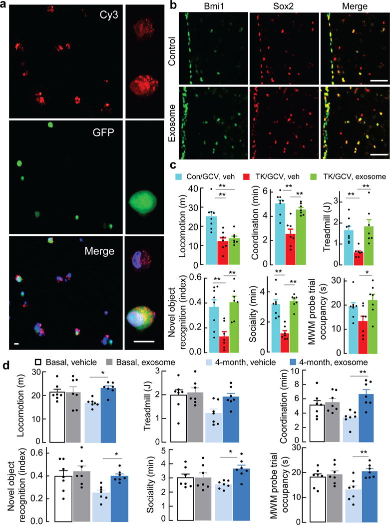 Slowdown of aging by treatment of hypothalamic NSC-derived exosomes a , GFP-expressing htNSC transfected with Cy3-labeled miRNAs (106a-5p, 20a-5p and 466m-5p) were co-cultured with htNSC which did not contain GFP. Right panels: high-magnification images of representative GFP-positive and GFP-negative cells. Scale bar, 20 μm. b , Mid-aged C57BL/6 mice were treated via hypothalamic 3V cannula with hypothalamic NSC-derived exosomes vs. vehicle, 3 times per week for 4 months, and examined for Bmi1 and Sox2 in the MBH. Scale bar, 50 μm. c , Male C57BL/6 mice (15-month-old) were bilaterally injected in the MBH with Bmi1 promoter-driven Hsv-TK (TK) or control (Con) lentiviruses, followed by GCV vs. vehicle (Veh) treatment, treated in hypothalamic 3V with hypothalamic NSC-derived exosomes (2–3 times per week, 3 months), and examined for physiology. d , Male C57BL/6 mice (16-month-old) were treated in hypothalamic 3V with exosomes vs. Veh (3 times per week, 4 months) and examined for physiology ( d ). Images represent 3 independent experiments ( a, b ). * p