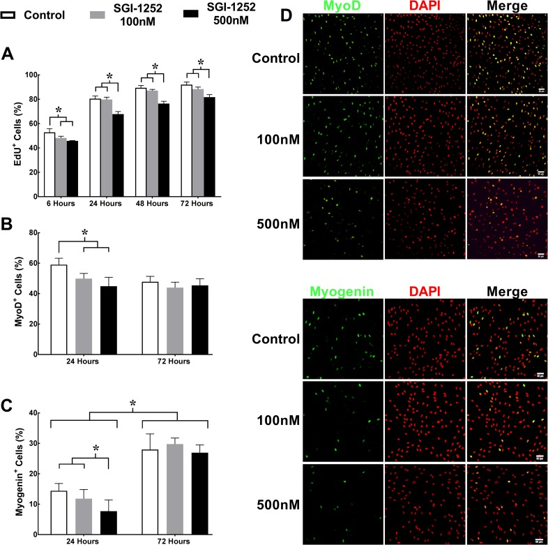 Proliferation and expression of myogenic regulatory factors MyoD and myogenin. (A) Proliferation was assessed using 5-ethynil-2'-deoxyuridine (EdU + ) following 6, 24, 48, and 72 hours in a growth medium. Myogenic regulatory factors (B) MyoD + and (C) Myogenin + nuclei were assessed following 24 and 72 hours in a differentiation medium. Representative images of (D) MyoD + and (E) Myogenin + nuclei at 24 hours. Scale bar = 50μm. * Significance p