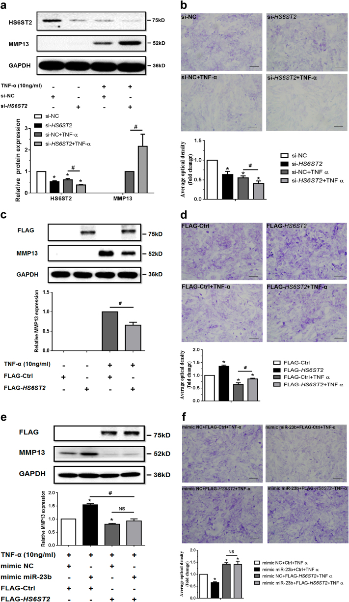 MiR-23b-3p could enhance matrix degradation in human chondrocytes via regulating HS6ST2. a , b SW1353 cells transfected with 50 nM HS6ST2 siRNA mixture (containing three target sequences, si- HS6ST2 ) or negative control (si-NC) were stimulated by 10 ng/ml TNF-α for 24 h. Protein level of HS6ST2 and MMP13 were assayed by western blotting ( a ) and matrix content of chondrocytes was determined by toluidine blue staining ( b ). Asterisk (*): compared with the si-NC group. c , d SW1353 cells transfected with empty vector (FLAG-Ctrl) or pcDNA3.1-FLAG- HS6ST2 vector (FLAG- HS6ST2 ) for 24 h were stimulated by TNF-α for another 24 h. The protein expression of MMP13 was assayed by western blotting ( c ) and matrix content of chondrocytes was determined by toluidine blue staining ( d ). Asterisk (*): compared with the FLAG-Ctrl group. e , f Under stimulation with TNF-α, SW1353 cells were treated with mimic NC or mimic miR-23b-3p for 24 h and then transfected with empty vector (FLAG-Ctrl) or pcDNA3.1-FLAG- HS6ST2 vector (FLAG- HS6ST2 ) for another 24 h to observe the rescuing effect of mimic miR-23b-3p in MMP13 expression ( e ) and matrix content ( f ). Asterisk (*): compared with the mimic NC group. GAPDH was used as internal controls in western blotting detection. In toluidine blue staining results, scale bar, 100 μm. Lower panel, statistical analysis of average optical density of matrix staining of toluidine blue. Bars represent standard error of the mean (SEM) from three independent experiments. Mann–Whitney U test was used to identify statistical differences between two groups. Asterisk (*) or hash ( # ) stands for P value