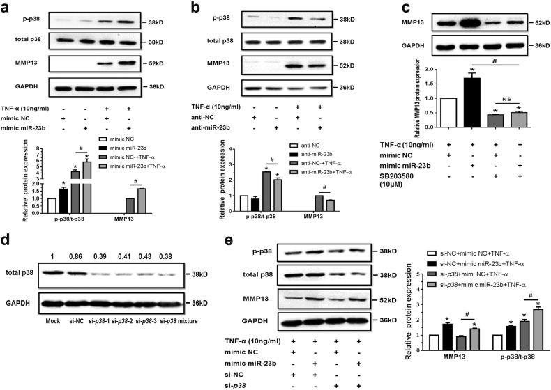 MiR-23b-3p could enhance matrix degradation by means of regulating activity of p38 MAPK in human chondrocytes under TNF-α treatment. a , b SW1353 cells were transfected by mimic miR-23b-3p ( a ) or anti-miR-23b-3p sequence ( b ) with or without TNF-α for 24 h, and the protein expression of phosphorylation form of p38 MAPK (p-p38), total p38 MAPK, and MMP13 was detected by western blotting. Asterisk (*): compared with the mimic NC ( a ) or anti-NC group ( b ). c SW1353 cells were treated with mimic miR-23b-3p with or without p38 MAPK inhibitor SB203580 (10 μM) under stimulation of TNF-α. The protein expression of MMP13 was determined by western blotting. Asterisk (*): compared with the mimic NC group. d Interfering efficiency of siRNAs against p38 MAPK was determined by western blotting under 50 nM p38 siRNA, 50 nM negative control (NC), and Mock (transfection regent only) transfection for 48 h. e Under stimulation with TNF-α, SW1353 cells were transfected by mimic miR-23b-3p under treatment with si- p38 mixture (containing three siRNA target sequences), and p-p38, total p38, and MMP13 were determined by western blotting. Asterisk (*): compared with mimic NC or si-NC. Each relative expression of phosphorylation form was normalized by the total form. GAPDH was used as internal controls in western blotting detection. Mann–Whitney U test was used to identify statistical differences between two groups. Asterisk (*) or hash ( # ) stands for P value