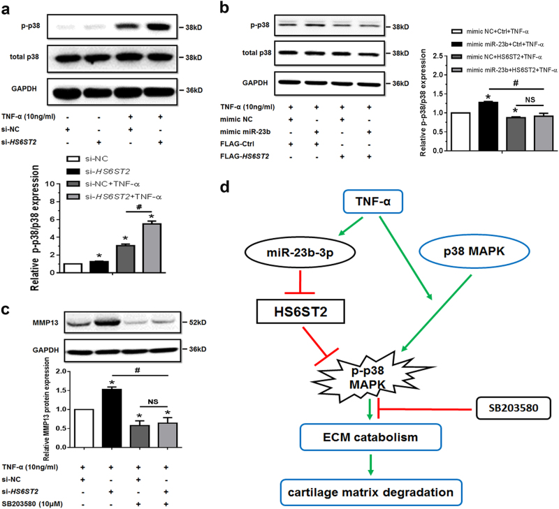 HS6ST2 could regulate the matrix degradation depending on the activity of p38 MAPK. a SW1353 cells were transfected by si -HS6ST2 or negative control (si-NC) with or without TNF-α for 24 h, and the protein expression of p-p38 and p38 was detected by western blotting. Asterisk (*): compared with the si-NC group. b Under stimulation with TNF-α, SW1353 cells were transfected by empty vector (FLAG-Ctrl) or pcDNA3.1-FLAG- HS6ST2 vector (FLAG- HS6ST2 ) under treatment with mimic miR-23b-3p, and p-p38 and total p38 were determined by western blotting. Asterisk (*): compared with the mimic NC group. c SW1353 cells were transfected with HS6ST2 siRNA with or without p38 MAPK inhibitor SB203580 (10 μM) after treatment of TNF-α, and the protein expression of MMP13 was determined by western blotting. Each relative expression of phosphorylation form was normalized by the total form. d Schematic representation of miR-23b-3p–HS6ST2 axis-mediated catabolic effects in human chondrocyte. GAPDH was used as internal controls in western blotting detection. Mann–Whitney U test was used to identify statistical differences between two groups. Asterisk (*) or hash ( # ) stands for P value