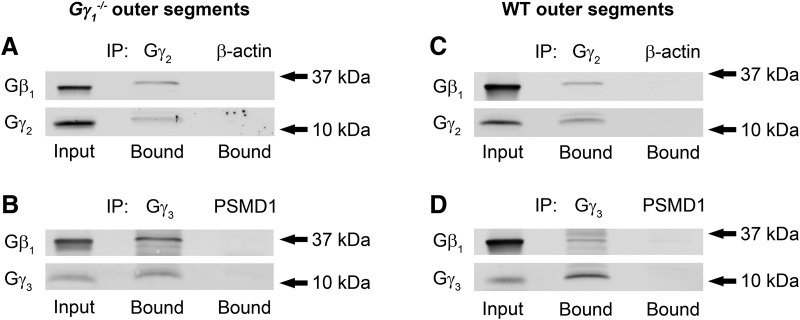 Identification of alternative Gβ 1 γ complexes in rod outer segments of Gγ 1 −/− and WT mice. A–D , Coimmunoprecipitation experiments were performed by incubating Gγ 1 −/− ( A , B ) or WT ( C , D ) rod outer segment lysates with mouse anti-Gγ 2 ( A , C ) or rabbit anti-Gγ 3 ( B , D ) antibodies. Immunoprecipitation with species-matched anti-β-actin (sc-47778) and anti-PSMD1 (ab140682) antibodies were used as negative controls; these antibodies were chosen based on the lack of cross-reactivity with the proteins analyzed in this panel, as evaluated in independent experiments. The data represent one of four similar experiments performed with Gγ 1 −/− or two similar experiments performed with WT outer segment preparations.