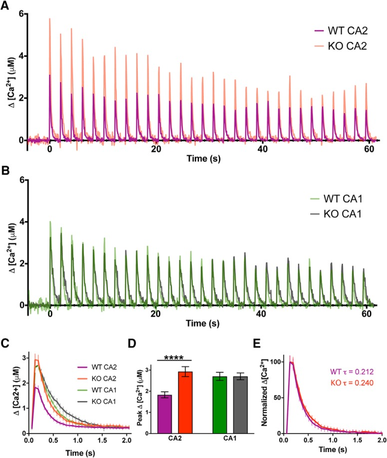 RGS14 restricts Ca 2+ levels in CA2 spines. A , Averaged time courses of spine Ca 2+ transients measured with Fluo-4FF during two-photon glutamate uncaging to induce sLTP (30 pulses, 0.5 Hz). Data are shown as the average change in spine Ca 2+ concentration (Δ[Ca 2+ ]) from CA2 pyramidal neurons. B , Averaged time courses of spine Ca 2+ transients measured with Fluo-4FF and Alexa Fluor 594 during two-photon glutamate uncaging to induce sLTP (30 pulses, 0.5 Hz). Data are shown as the average change in spine Ca 2+ (Δ[Ca 2+ ]) from CA1 pyramidal neurons. C , Uncaging-triggered averages for the change in spine Ca 2+ concentration during sLTP induction. Error bars denote SEM. D , RGS14 limits CA2 spine Ca 2+ transients. Bar graphs displaying the average peak Δ[Ca 2+ ] ± SEM (****, p