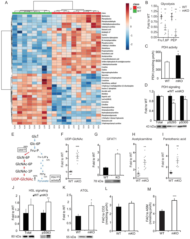 Loss of skeletal muscle <t>OGT</t> alters global muscle metabolism. (A) Metabolome heat map of gastrocnemius muscle from clamped mice. Metabolites were measured using LC-MS. (B) Glycolytic metabolites from metabolome. Fructose 1 6-bisphosphate (Fru1,6P) and phosphoenolpyruvate (PEP). (C) Pyruvate dehydrogenase (PDH) activity in the gastrocnemius muscle was assayed with the substrate [1– 14 C] pyruvate by measuring enzyme-catalyzed release of 14 CO2. (D) Immunoblot of PDH phosphorylation at pS293 and pS300 in gastrocnemius from clamped mice. (E) Illustration of metabolites and regulation of glycolysis and hexosamine biosynthetic pathway. (F) <t>UDP-GlcNAc</t> levels from the metabolomics analysis. (G) Immunoblot of GFAT1 in gastrocnemius from clamped mice. (H) Acetylcarnitine levels from the metabolomics analysis. (I) Pantothenic acid levels from the metabolomics analysis. (J) Immunoblot of HSL and HSL pS563 in gastrocnemius from clamped mice. (K) Immunoblot of ATGL in gastrocnemius from clamped mice. (L) Complete oxidation of [1– 14 C]-palmitic acid to CO 2 in gastrocnemius muscle of WT and mKO mice. (M) Incomplete oxidation of [1– 14 C]-palmitic acid to acid-soluble metabolites (ASM) in gastrocnemius muscle. Data represent means ± SEM from n = 8–10, 18-week-old (Panel A, B, C, F, G, H, I, J, and K) and n = 10, 16-week-old (Panel D, L, and M) male mice in each genotype. *p