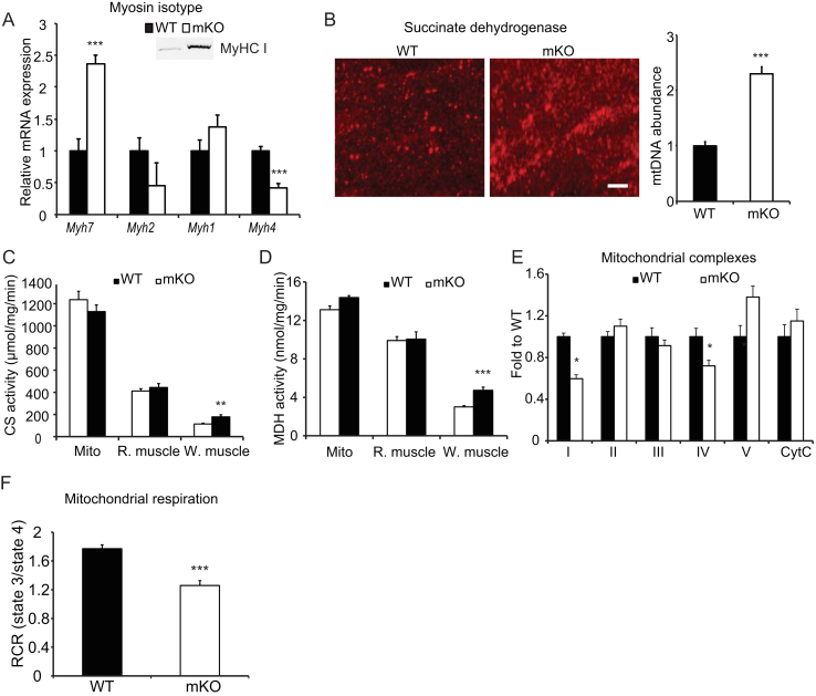 Loss of skeletal muscle OGT increases type I myosin heavy chain-containing fibers, but impairs maximal oxidative capacity. (A) Relative mRNA expression of myosin heavy chain (MyHC) I ( Myh7 ), MyHC IIa ( Myh2 ), MyHC IIx ( Myh1 ), and MyHC IIb ( Myh4 ) in the gastrocnemius muscle. Inset, immunoreactivity of MyHC I in the gastrocnemius muscles of WT and mKO muscle. (B) Mitochondrial abundance. Left: three-dimensional confocal images showing the difference in mitochondria in gastrocnemius muscle cross-sections of WT and mKO stained with succinate dehydrogenase antibody (left panel). Bar, 5 μm. Right: mitochondrial DNA (mtDNA) abundance in the gastrocnemius muscles of WT and mKO mice. Mt–Co1 DNA was measured using qPCR and normalized to genomic Nrip1 DNA. (C – D) Citrate synthase (CS, C) and malate dehydrogenase (MDH, D) activities in isolated mitochondria (Mito), and red (R.) and white (W.) portions of the gastrocnemius muscles of WT and mKO mice. (E) Abundance of mitochondrial complexes in gastrocnemius from clamped mice. (F) Mitochondria were isolated from WT and mKO gastrocnemius muscle, and oxygen consumption was measured using Seahorse. Respiration control ratio of state 3/state 4 was calculated based on oxygen consumption rate (OCR) in each state. Data represent means ± SEM from n = 10, 16-week-old male mice in each genotype. *p
