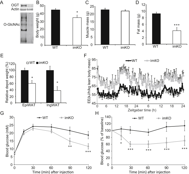 Inducible knockout of OGT in skeletal muscle recapitulates the mKO mouse. OGT knockout was induced when mice were 5 months old by feeding doxycycline food for two weeks. Subsequently, mice were fed normal chow for 6 months before analysis. (A) Muscle from WT and imKO mice were immunoblotted with anti-OGT and -O-GlcNAc antibodies respectively. Equal amount of total protein was loaded across all the lanes. (B – F) Body weight (B) , muscle mass (C) , fat mass (D) , fat depots (E) , and energy expenditure (EE) (F) were assessed. (G – H) Glucose tolerance test (GTT) (G) and insulin tolerance test (ITT) (H) . Data represent means ± SEM from n = 10 male mice in each genotype. *p