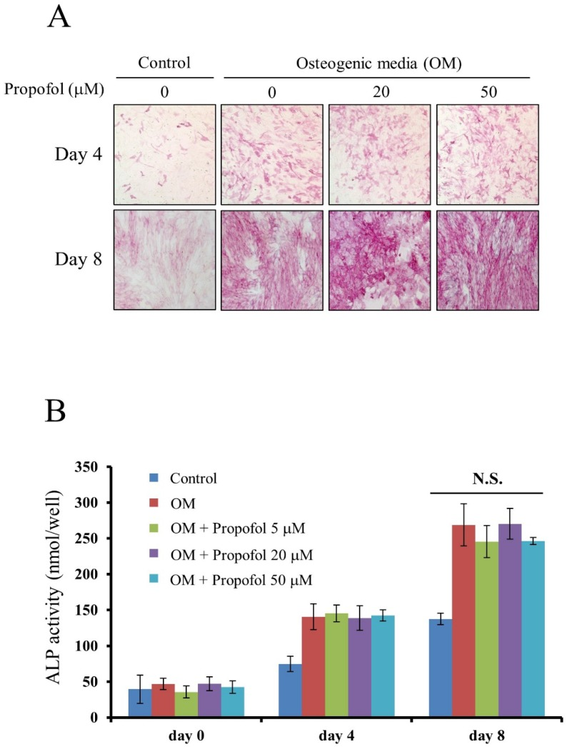 Propofol does not affect osteoblast differentiation. (A) Calvarial pre-osteoblast cells isolated from newborn mice were cultured in osteogenic media (OM, 10 mM β-glycerophosphate + 100 μM L-ascorbic acid) for the indicated number of days. At day 4 and day 8, osteoblast differentiation was examined by ALP staining. (B) Calvarial pre-osteoblast cells were differentiated into osteoblast in OM. At days 0, 4, and 8, quantitative ALP enzyme activity assay was performed.