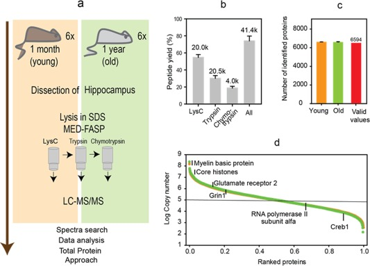 Proteomic analysis of hippocampi from young and middle‐aged mice. (a) Proteomic workflow. Hippocampi were isolated from 6 animals per group. The tissue lysates were processed by MED‐FASP procedure with three steps of enzymatic digestion. Peptides were analyzed by LC‐MS/MS. The spectra were searched using MaxQuant software. Proteins were quantified by means of Total Protein Approach. (b) Protein to peptide conversion and peptide analysis. The numbers above the columns show the average number of peptides identified from each digest ( k , values are in thousands). (c) Number of proteins matching the peptides identified in the mass spectrometric analysis. 6,594 proteins were identified in at least 9 of 12 samples (valid values) and were used for the statistical analysis. (d) Distribution of protein copy numbers across the identified proteins [Color figure can be viewed at http://wileyonlinelibrary.com ]