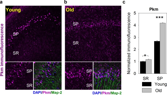 """Cellular distribution of pyruvate kinase (Pkm) in the hippocampus of young and middle‐aged (""""Old"""") animals. (a and b) Exemplary confocal images of Pkm immunofluorescence (magenta) distribution within hippocampal CA1 region in young (a) and aged (b) animals acquired at low (obj. 20×, upper panel) and high magnification (obj. 60×, bottom panels). Localization of neuronal somata, dendrites and nuclei was revealed with antibodies against microtubule‐associated protein 2 (Map2, green) and DAPI (blue), respectively. Abbreviations: SP, stratum pyramidale; SR, stratum radiatum. (c) Quantification of Pkm immunofluorescence in hippocampal slices of young (black bars) and old animals (gray bars). Note that with age, Pkm immunofluorescence is significantly upregulated in both SR and SP layers. Asterisks indicate a statistically significant difference (* p"""