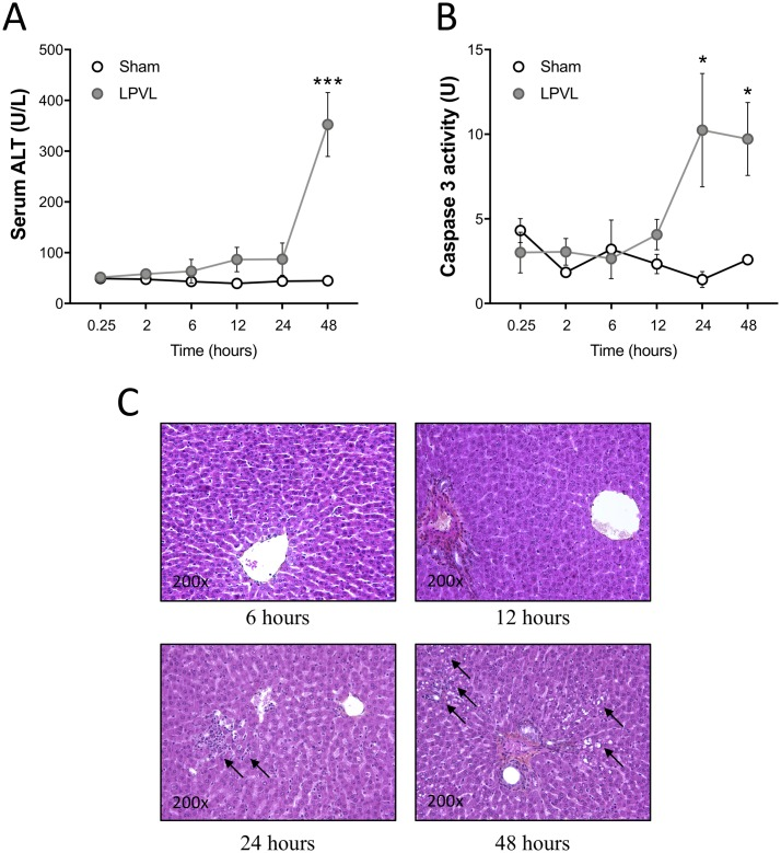 Delayed hepatocyte injury after induction of ischemia. (A) Evaluation of ALT serum levels and (B) quantification of <t>caspase</t> 3 activity in sham and LPVL-treated rats over a period of up to 48 h following induction of ischemia. (C) Representative microphotographs of HPS staining of the left liver lobe of LPVL-operated rats over a period ranging from 6 to 48 h following ischemia. Liver injury was assessed by the histological evaluation of necrosis. Values are ±SEM of 3–8 different animals. (* P