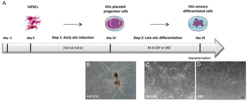 Schematic summary outlining the otic differentiation from hiPSCs in monolayer culture. (A) As a first step (step1), hiPSCs at day 0 were exposed to FGF3 and FGF10 growth factors until day 13 for early otic/placodal induction and, in a second step (step2) were then differentiated into otic sensory cells by exposure to either RA/EGF or DBZ until day 20. (B-D) Morphological characteristics of hiPSC-derived otic progenitor cells after FGF3/10, RA/EGF and DBZ treatments respectively. Scale bars, 200 μm. Abbreviations: DFNB, DMEM/F12 supplemented with N2 and B27; RA, retinoic acid; DBZ, difluoro-benzeneacetamide; EGF, epithelial growth factor; FGF, fibroblast growth factor.