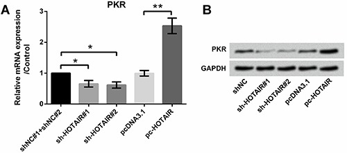 Effect of HOTAIR on PKR expression; A , qRT-PCR revealed overexpression of HOTAIR promoted the expression of PKR; B , Western blotting analysis revealed overexpression of HOTAIR promoted the expression of PKR. Data are reported as means±SD. *P
