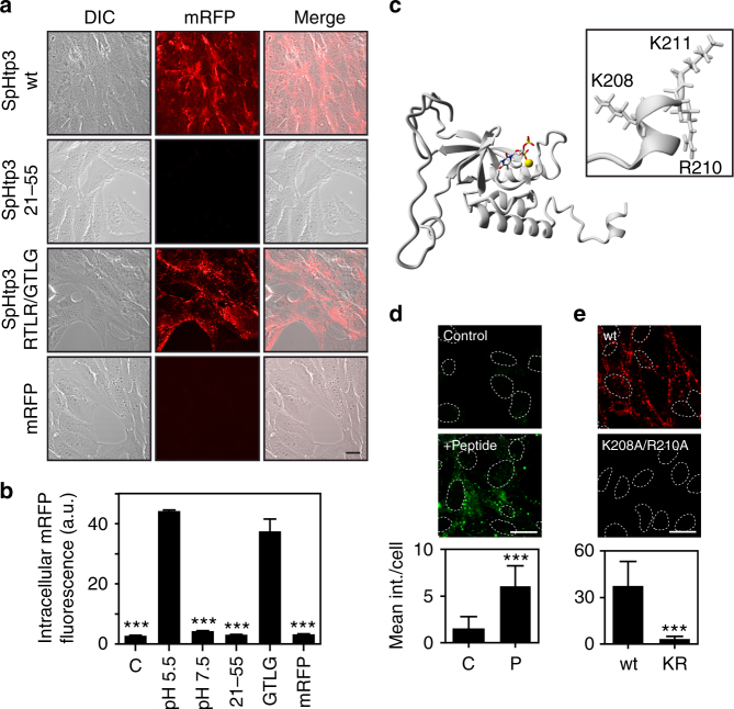 SpHtp3 self-translocates into host cells via its C-terminus. a Self-translocation of SpHtp3-mRFP wt, SpHtp3-mRFP 21–55 (containing the RTLR sequence), a mutant of SpHtp3-mRFP RTLR/GTLG and mRFP only into living RTG-2 cells at pH 5.5. Scale bar: 20 µm ( n = 3). b Quantitative FACS analysis of RTG-2 cells from Figs. 2d and 3a. Error bars denote s.e.m. ( n = 3). *** p