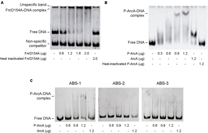 Binding of Fnr and ArcA to S . Enteritidis lpxO promoter region. EMSA were conducted using a 480 bp fragment carrying the complete lpxO promoter and purified FnrD154A (A) or P-ArcA (B) proteins. EMSA were also performed incubating purified P-ArcA with fragments of the lpxO promoter region containing ABS-1, ABS-2, or ABS-3 (C) . In all cases, EMSA included heat-inactivated proteins and/or non-phosphorylated ArcA as negative controls. When indicated, a <t>261</t> bp DNA fragment was used as non-specific competitor.
