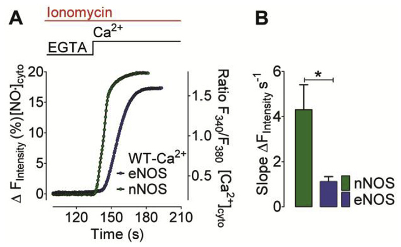 Ca 2+ -evoked nNOS- and eNOS-derived NO generation profiles in <t>ionomycin</t> permeabilized cells (A) Mean curves represent NO generation profiles derived from eNOS (blue curve) and nNOS (green curve) in response to Ca 2+ addition. Experiments were performed in the presence of 5 μM ionomycin. NO recordings were performed using C-geNOp. (B) Bars represent respective statistics of panel A, maximum initial slope of nNOS- (green bar, n = 34/3) and eNOS-derived (blue bar, n = 36/3) NO signals. Mean values are shown ±SD, *P