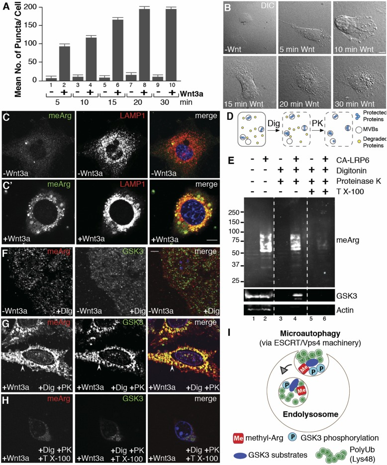 Wnt3a treatment triggers the accumulation of arginine-methylated proteins inside endolysosomes. ( A ) Wnt signaling rapidly increased the number of puncta visualized by phase microscopy in HeLa cells (ImageJ). ( B ) Wnt-induced vesicles accumulated within 5–30 min. ( C  and  C′ ) Wnt signaling by Wnt3a triggered relocalization of arginine-methylated proteins (meArg) (green) into LAMP1 vesicles (red) in 3T3 cells. Panel  C′  was treated with Wnt3a for 20 min. ( D ) Diagram of protease protection assay. ( E ) meArg proteins were increased by Wnt activation following CA-LRP6 transfection (lanes 1–2) and became protected from proteinase K treatment (lanes 3–4), but only in the absence of Triton X-100 (lanes 3–6). GSK3 and actin served as MVBs and cytosolic protein controls, respectively. ( F – H ) In situ protease protection assay showing that Wnt-induced meArg proteins localized inside the same vesicles as GSK3 (arrowhead). ( I ) During Wnt signaling, cytosolic substrates modified by meArg, GSK3 phosphorylation, and K48-polyUb are sequestered into endolysosomes through microautophagy via the ESCRT/Vps4 machinery. (Scale bars, 10 μm.)