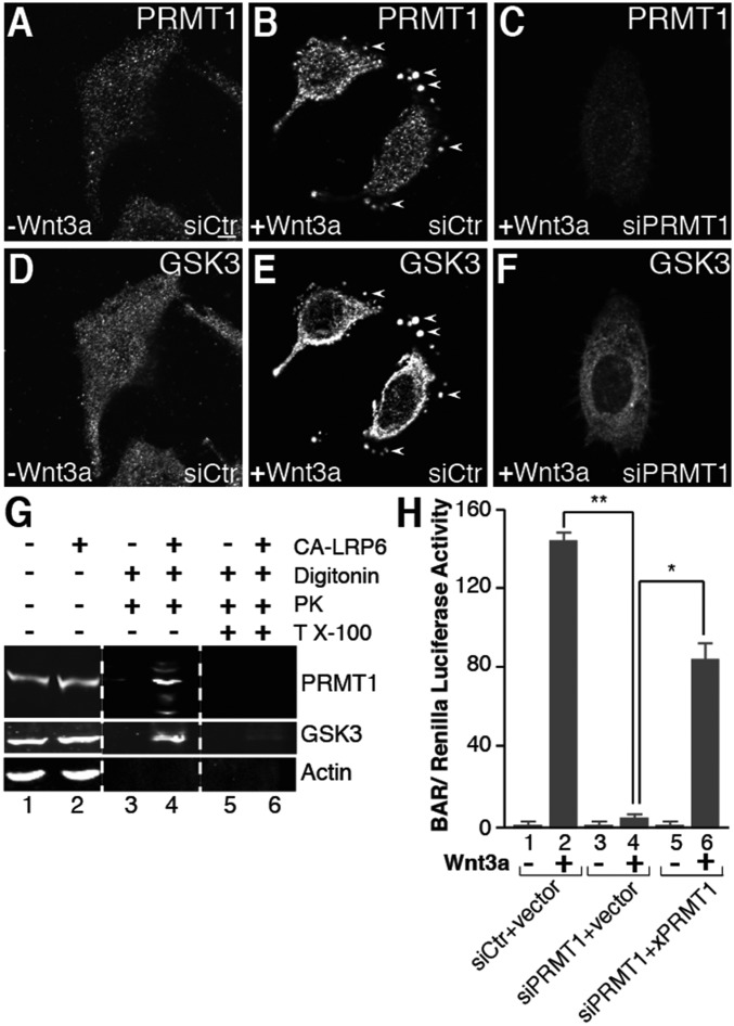 Protein arginine methyltransferase 1 (PRMT1) is sequestered in MVBs by Wnt3a and is required for Wnt signaling. ( A  and  B ) Endogenous PRMT1 was sequestered in vesicles by Wnt signaling in in situ protease protection assays (arrowheads). ( C ) PRMT1 was depleted by siRNA. ( D  and  E ) GSK3 was sequestered by Wnt3a into the same vesicles as PRMT1 (arrowheads). ( F ) PRMT1 was required for the Wnt-induced endolysosomal sequestration of GSK3. siRNA targeting PRMT1 ablated GSK3 relocalization into vesicles following treatment with Wnt3a. ( G ) PRMT1 was protected by proteinase K inside membrane organelles during Wnt signaling. Actin serves as a negative control. ( H ) PRMT1 was required for Wnt signaling (lanes 2 and 4, bracket). Signaling was partially rescued by expression of a  Xenopus  PRMT1 (  26 ) in siPRMT1-treated cells (lane 6, bracket). (Scale bars, 10 μm.) * P