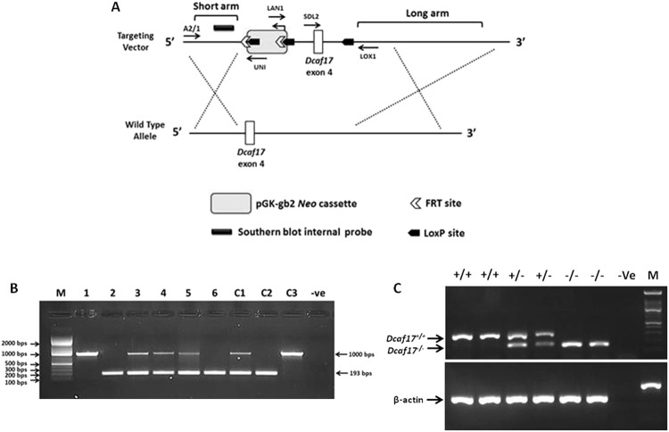 Diagrammatic representation (A) of Dcaf17 gene targeting approach in mouse by homologous recombination and genotyping ( B , C ) of different alleles of Dcaf17 in mice. ( A ) Homologous recombination strategy in mouse ES cells. The Dcaf17 targeting vector (top) was constructed to replace wild type exon 4 and introduce neomycin drug selection marker, LoxP and FRT sites. ( B ) Agarose gel image of PCR genotyping of representative Dcaf17 mutant mice. PCR amplification of wild type genotype gives 1 kbps amplicon (1, C3), heterozygous genotype for Dcaf17 mutation gives 1 kbps and 193 bps amplicons (3–5, C1) and homozygous genotype for Dcaf17 mutation gives 193 bps amplicon (2, 6 and C2). 1–6 – genomic DNA samples of different Dcaf17 genotypes; C1-C3 – Different Dcaf17 genotype controls; −Ve – no template control. ( C ) Agarose gel image of RT-PCR of different Dcaf17 genotypes. PCR products of various Dcaf17 alleles and β-actin were run on the same agarose gel and single image was taken. +/+ - Dcaf17 +/+ (WT); +/− - Dcaf17 +/− (heterozygous Dcaf17 mutant); −/− - Dcaf17 −/− (homozygous Dcaf17 mutant); −Ve – no template control; M – DNA ladder. PCR fragment size for β-actin is 190 bps; for Dcaf17 +/+ is 284 bps and for Dcaf17 −/− is 148 bps. Gel images were taken using ImageQuant LAS 4000 imaging system.