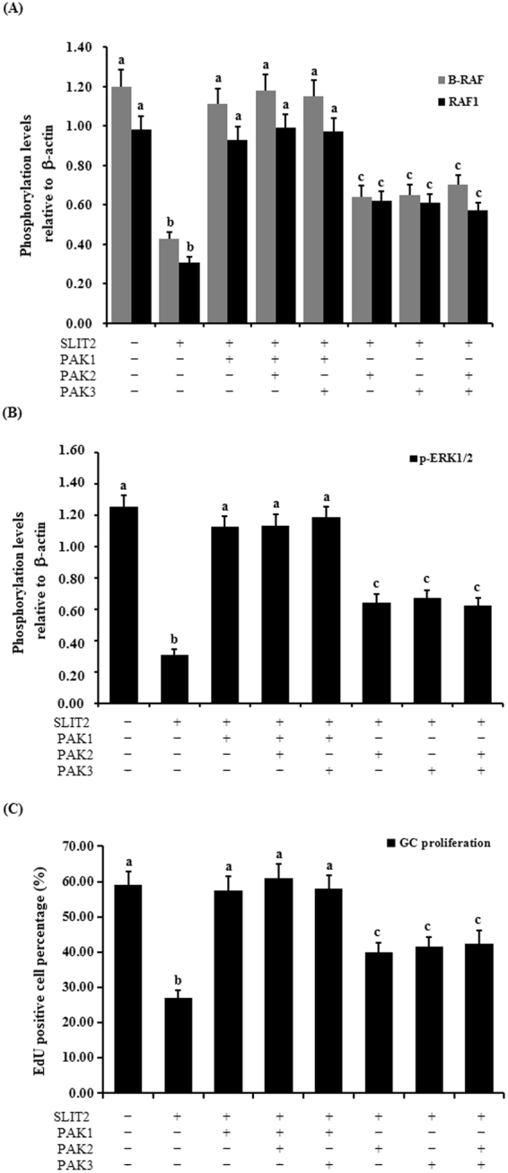 Regulation of the phosphorylation of B-RAF, RAF1, ERK1/2 and GC proliferation through the kinase PAKs. The granulosa cells were transfected with the reconstructed pYr-adshuttle-4-SLIT2 plasmids and co-infected with or without PAK1 , PAK2 and PAK3 specific siRNA. ( A ) The phosphorylation levels of B-RAF and RAF1 proteins in the GCs with or without the specific siRNA interference were detected by western blotting and normalized for loading by comparison to the signal of β-actin. ( B ) The phosphorylation levels of the ERK1/2 proteins in the GCs with and without the specific siRNA interference were detected by western blotting and normalized for loading by comparison to the signal of β-actin. The signal intensity of the phosphorylated proteins was expressed as a ratio to the β-actin signal in arbitrary units (n = 10 per mean ± SEM). ( C ) Proliferation levels of the GCs with and without the specific siRNA interference were examined using an EdU Cell Proliferation Assay Kit. The statistical significance is indicated with different superscript characters (P