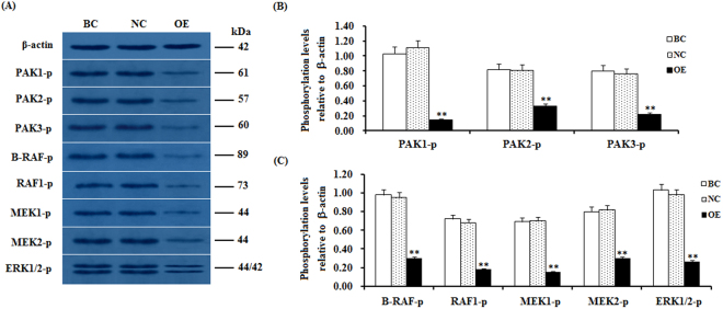 SLIT2 overexpression-induced reduction in the phosphorylation levels of PAKs, RAFs and ERK1/2. The granulosa cells were transfected with the reconstructed pYr-adshuttle-4-SLIT2 plasmids, a pYr-adshuttle-4 empty vector (negative control) or no plasmid (blank control). ( A ) The immunoprecipitants were analyzed by western blotting for an in vitro phosphorylation assay. β-actin was used as a loading control. The blots were cropped, and the gels were run under the same experimental conditions. ( B , C ) The blotting signal intensity was quantified densitometrically after phosphorimaging (shown in A ) and normalized for loading by comparison to the signal of β-actin. The signal intensity of the targeted proteins or phosphorylated proteins was expressed as a ratio to the β-actin signal in arbitrary units (n = 5 per mean ± SEM). Five independent experiments were carried out in triplicate. The results are representative of at least three independent experiments. significance is marked with different superscript symbols **P